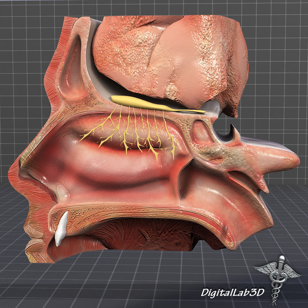 3D model Nose Anatomy | CGTrader
