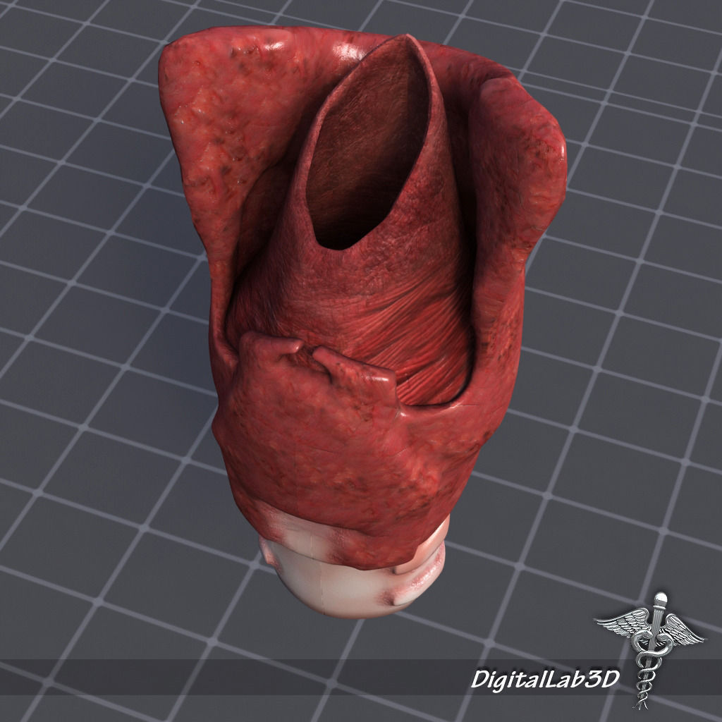 3D model Tongue Throat and Teeth Collection | CGTrader