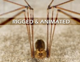3d spider pholcus phalangioides rigged animated