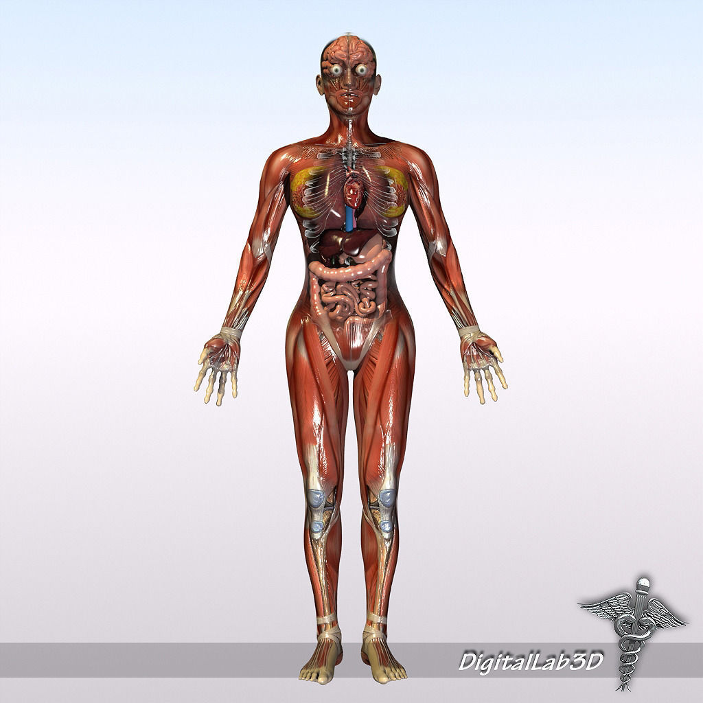 Human Male And Female Anatomy 3d Model Cgtrader