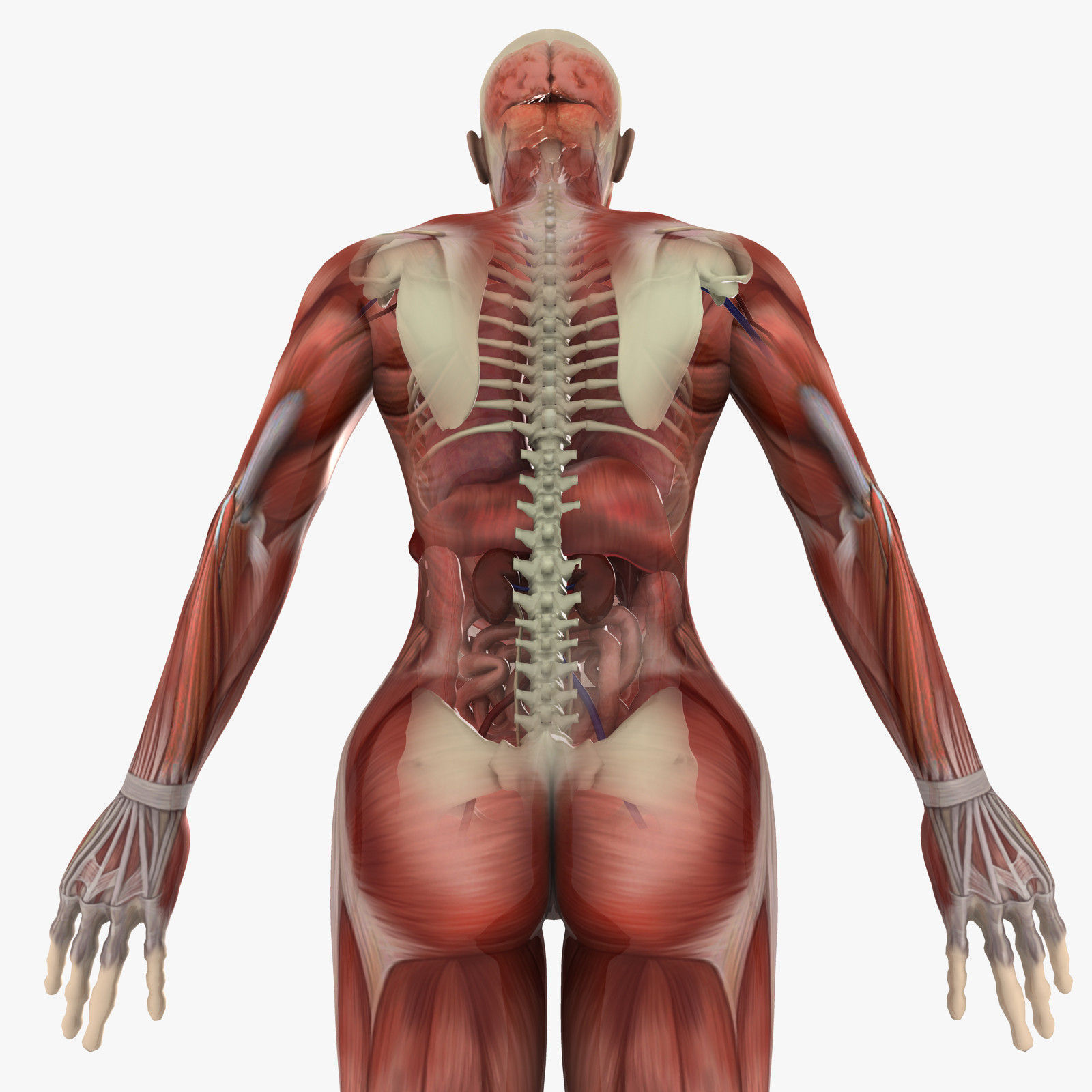 3d Model Human Female Anatomy Cgtrader