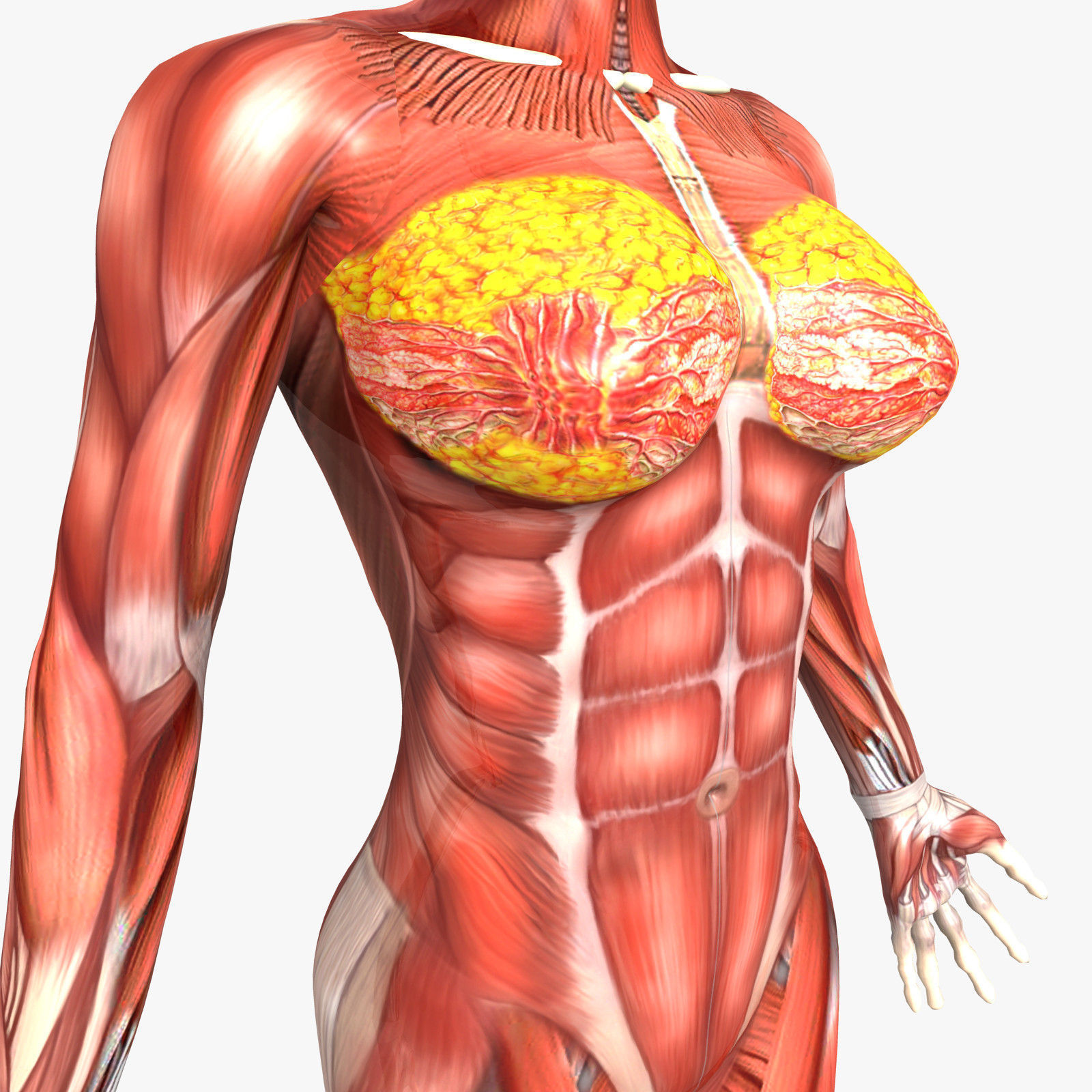 Female muscles anatomy