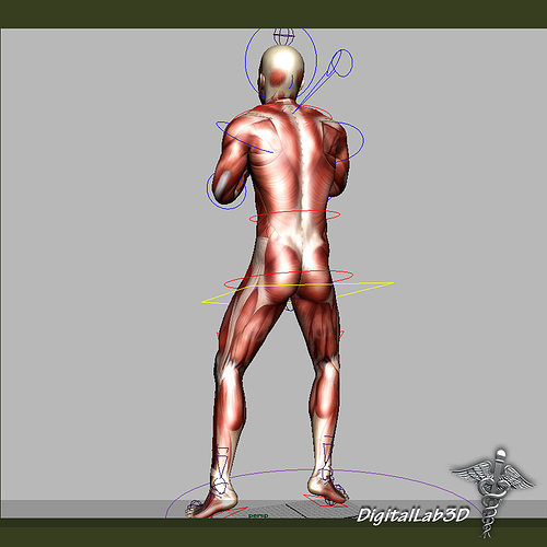 Collection Rigged Male And Female Muscular System 3d Model Rigged
