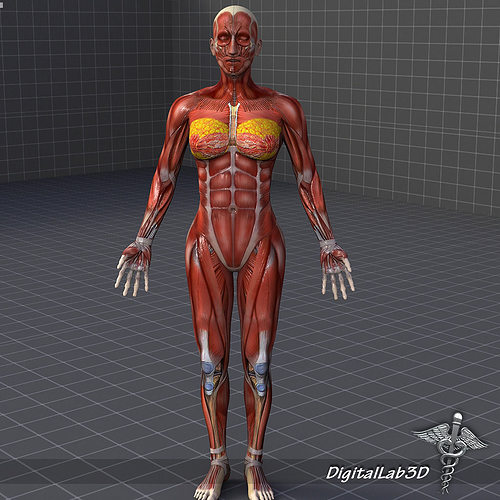 human female muscular system 3d model max obj 3ds fbx c4d lwo lw, Muscles