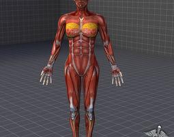 Human Female Muscular System 3D Model
