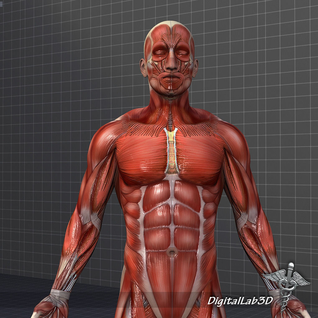 3d model human male muscular system | cgtrader, Muscles