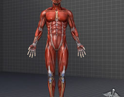 3d human male muscular system