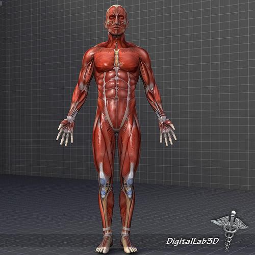 human male muscular system 3d model max obj 3ds fbx c4d lwo lw lws, Muscles