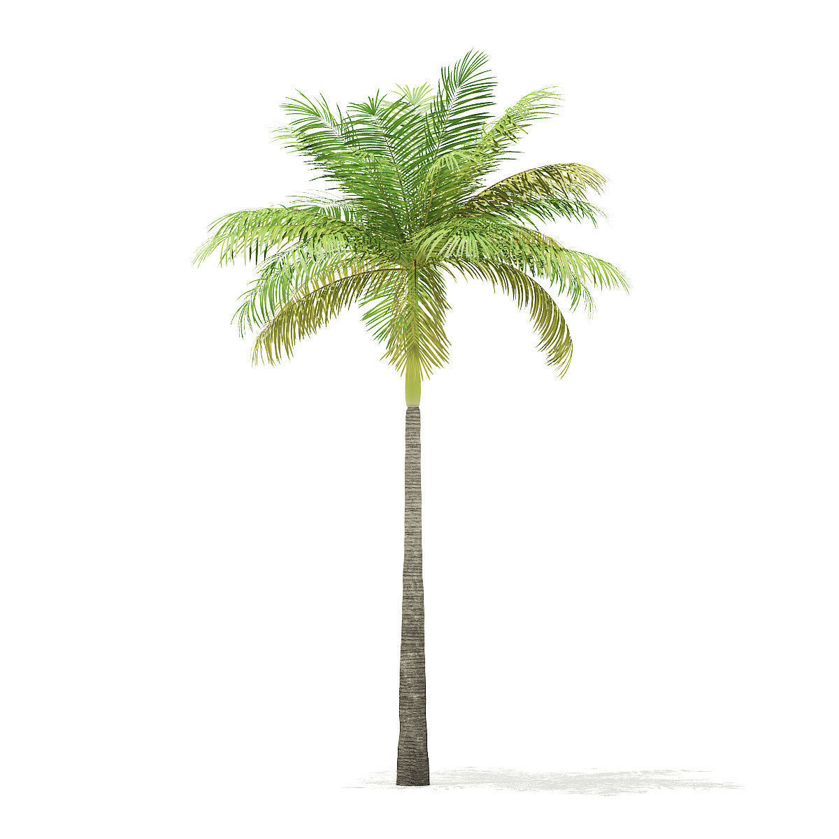 Bottle Palm Tree 3D Model 6m | 3D model