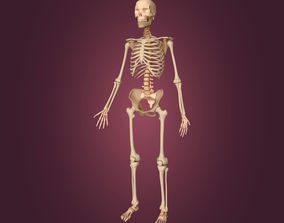 3D model Human Skeleton body