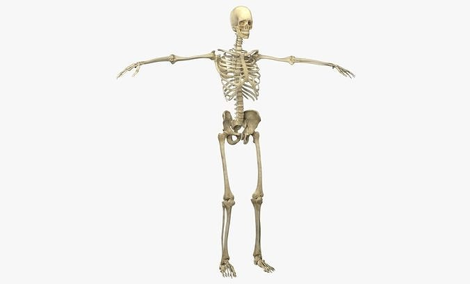 female skeleton 3d model low-poly max obj mtl 3ds fbx ma mb 1