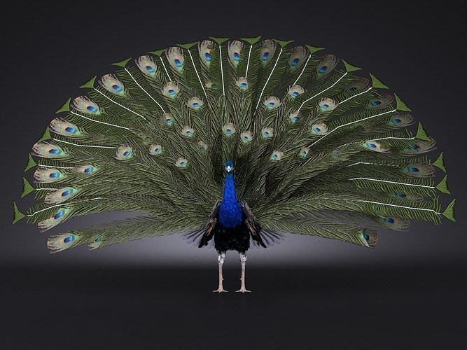 peacock 3d model rigged max 1