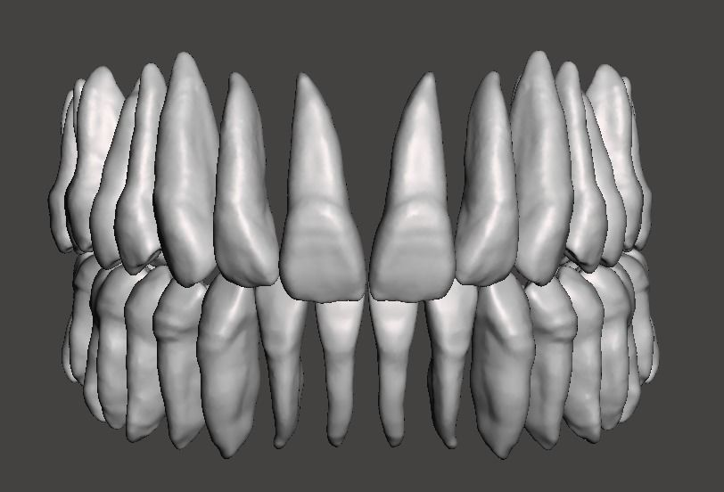 Real human teeth anatomy maxillary and mandibular