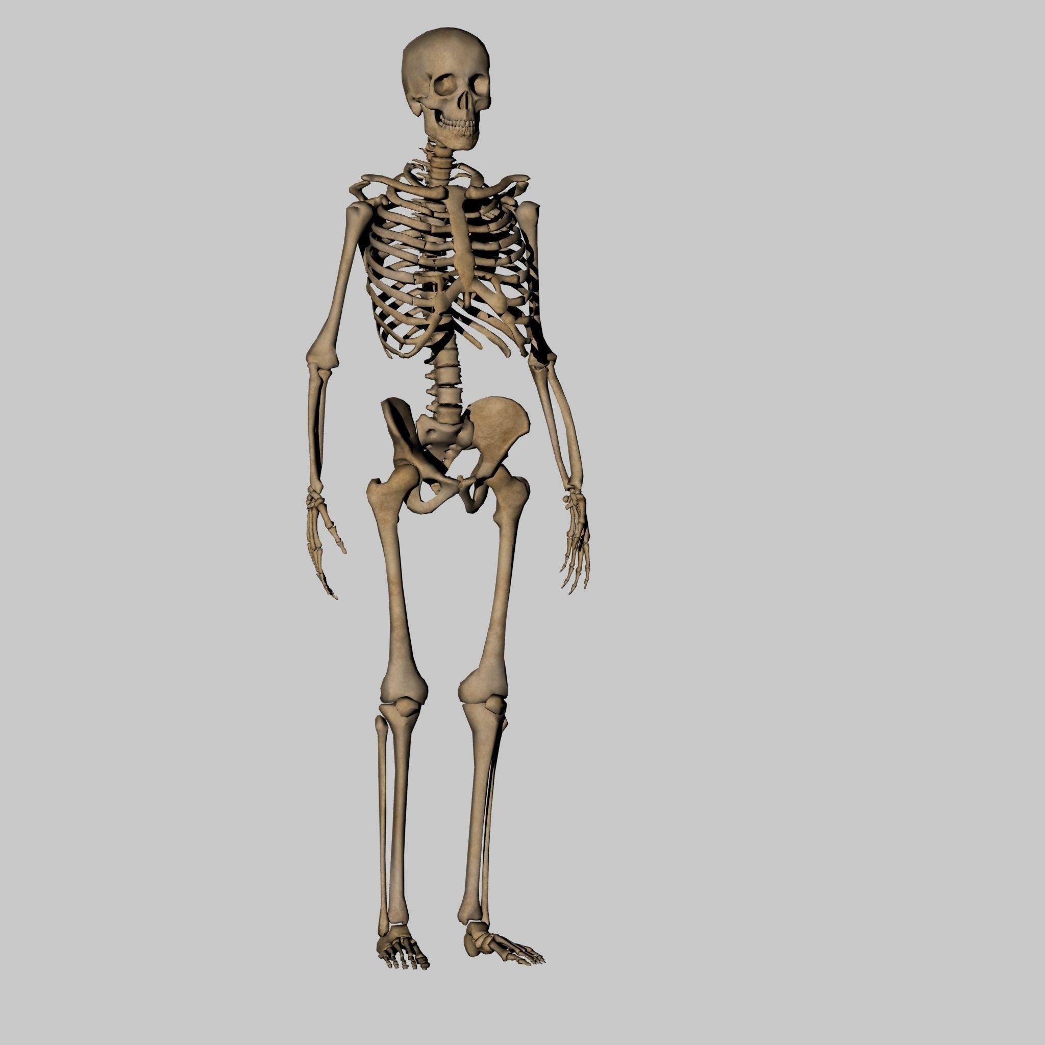 Human Anatomy Skeleton 3D