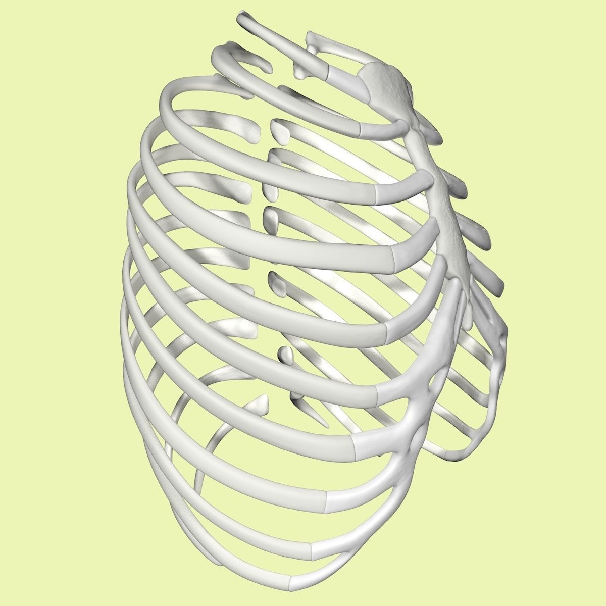 3D Rib cage model without texture