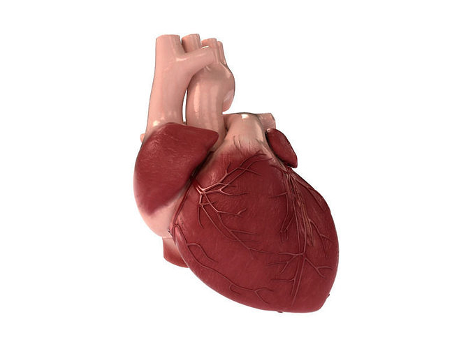 Detailed 3D Human Heart | CGTrader
