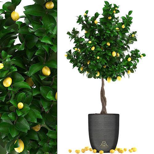 lemon tree with fruit 3 3d model max obj mtl fbx 1