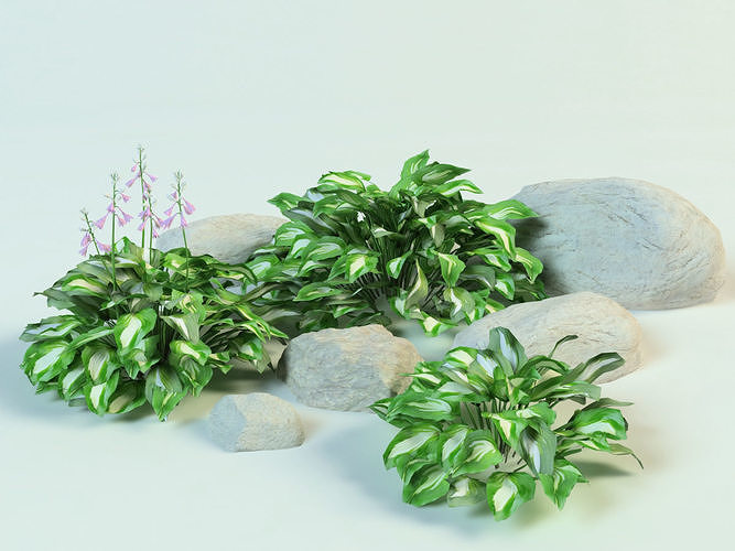 hosta undulata set plantain lily 3d model max obj mtl 3ds fbx 1