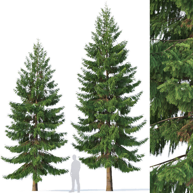 Spruce Nr 5 Two sizes H8-10m Modular branches