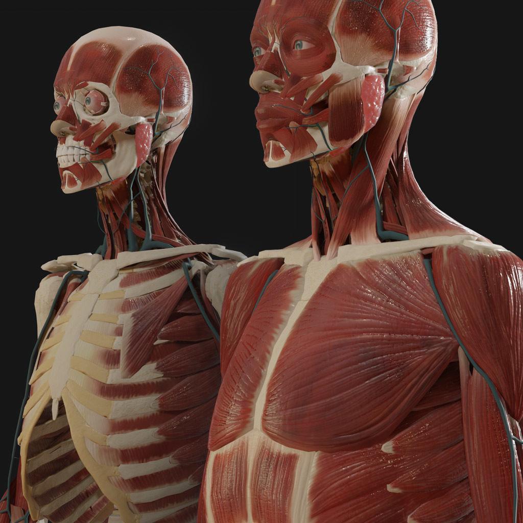 Anatomy 2019 | 3D model