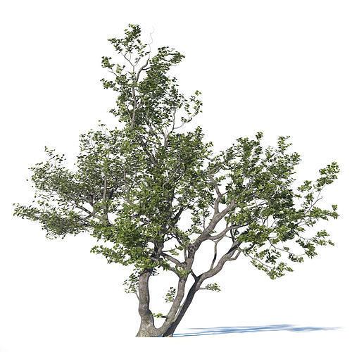deciduous tree 3d model max obj mtl fbx mat 1