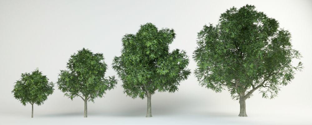 4 Red oak Quercus rubra