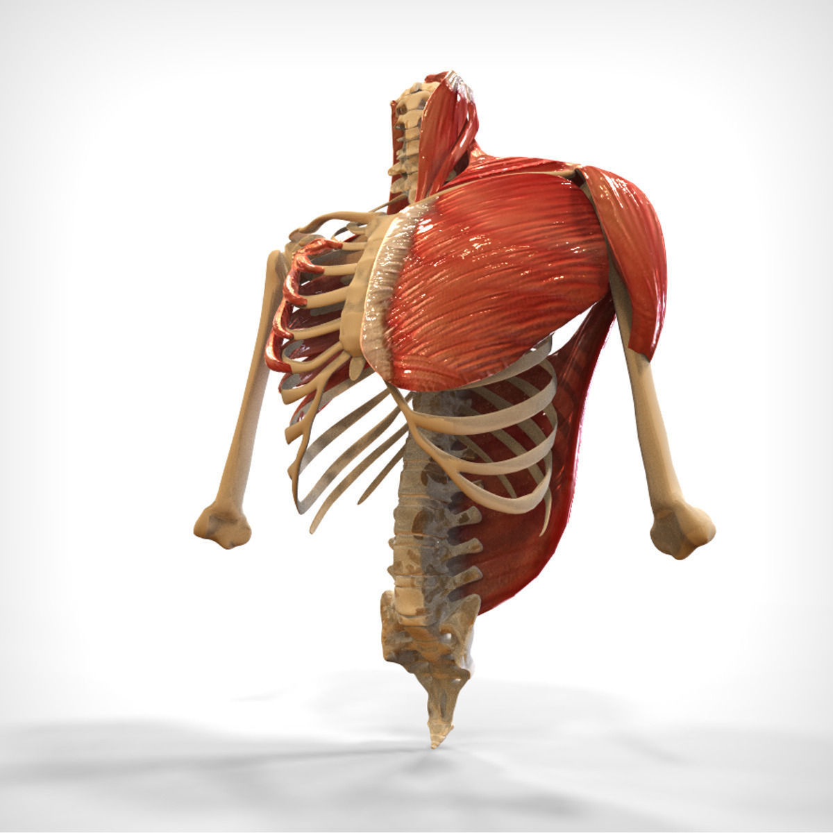 Human Upper skeletal and Connecting Muscles 3D Model MAX ...