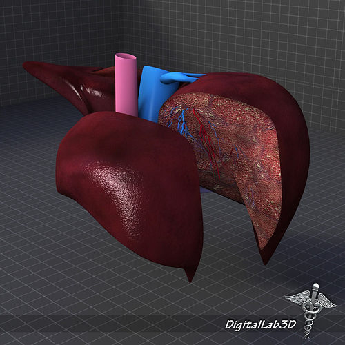 3D Liver Anatomy | CGTrader