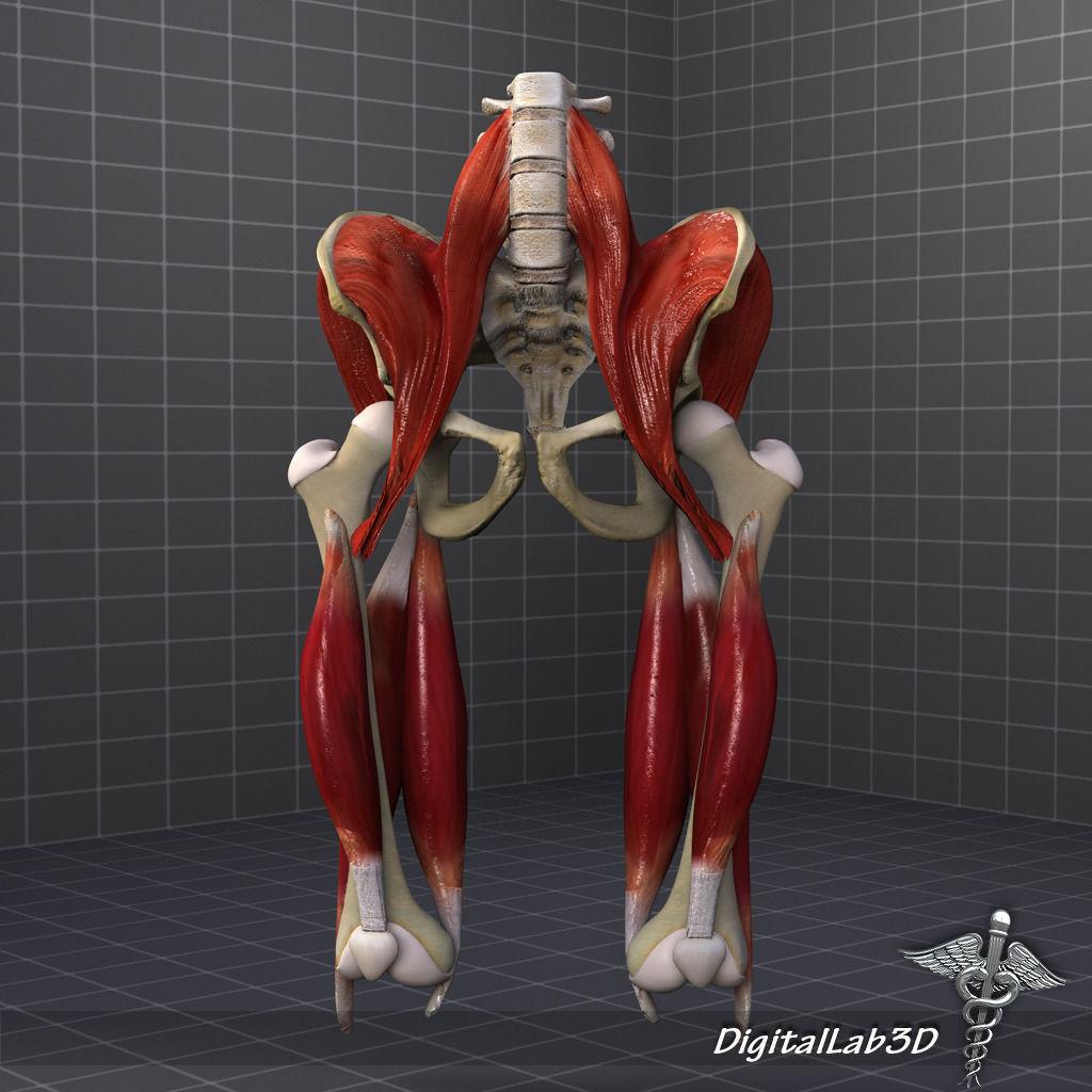 Pelvis Muscle Bone Anatomy 3D | CGTrader