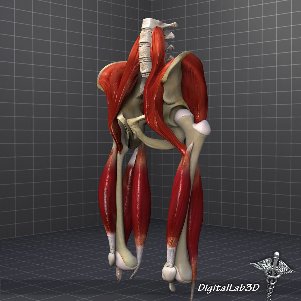 Pelvis Muscle Bone Anatomy 3d Model Cgtrader