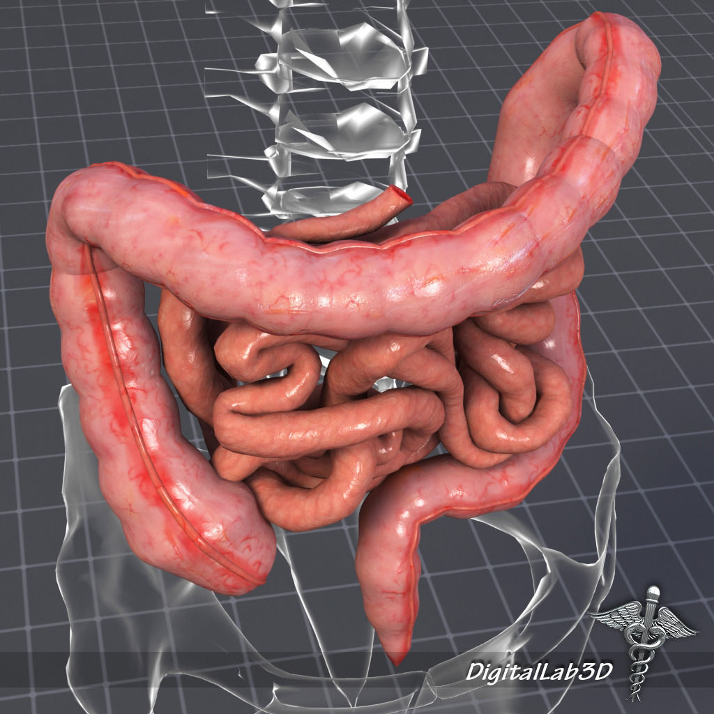 Human Large and Small Intestines Anatomy 3D | CGTrader