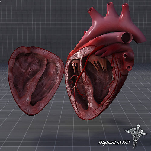 Human Heart Anatomy D Model Max Obj Ds Fbx C D Lwo Lw Lws