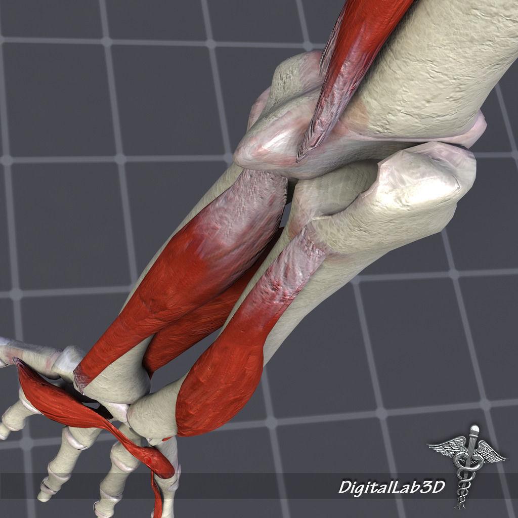 human arm bone and muscle structure 3d model max obj 3ds fbx c4d, Muscles