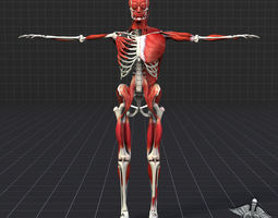 3d model human muscle and bone structure
