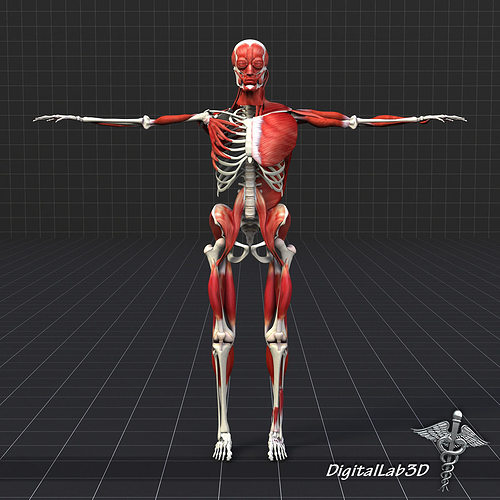 3d Model Human Muscle And Bone Structure Cgtrader