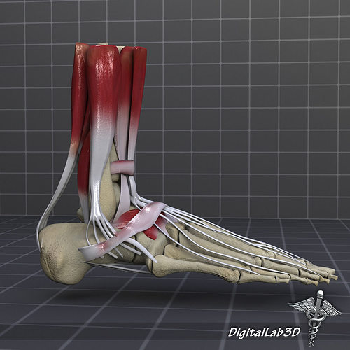 Human Foot Bone and Muscle Structure