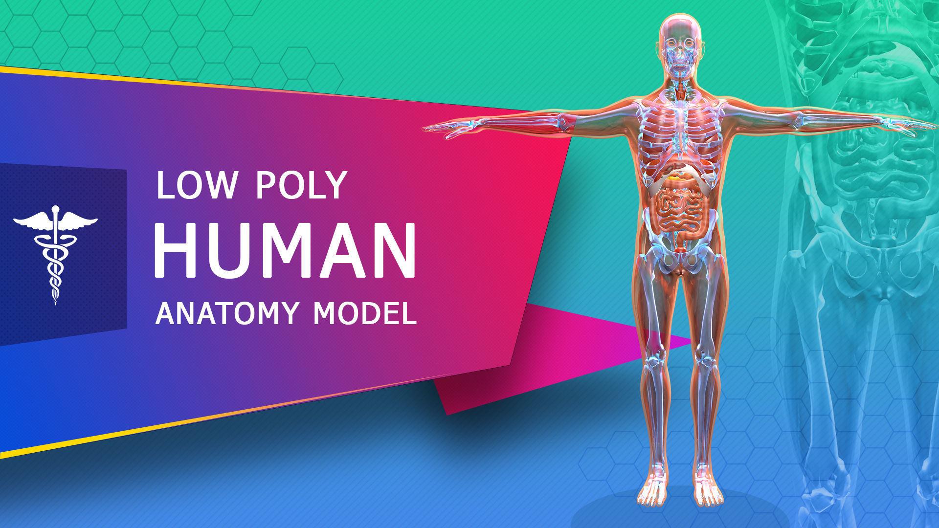 Low poly Human Anatomy Model