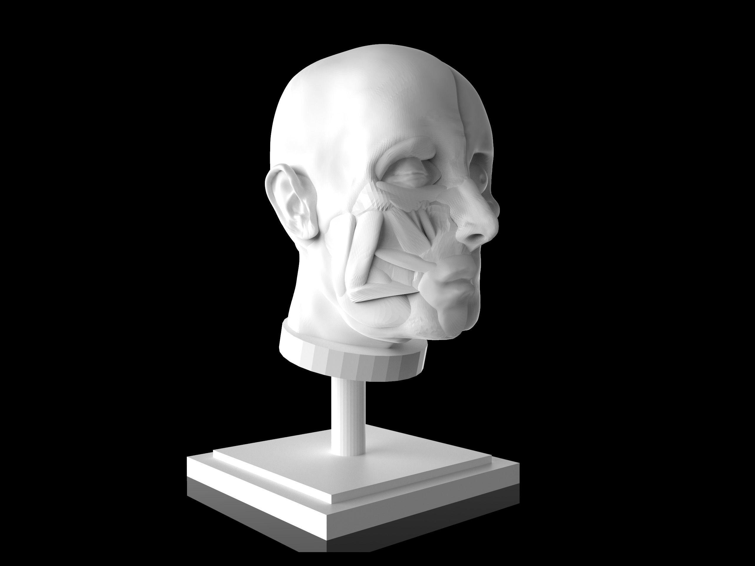 Man Head Anatomy - 3D Print Model
