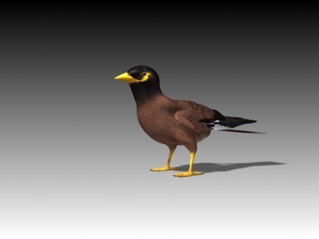 Maynah Bird folded wings