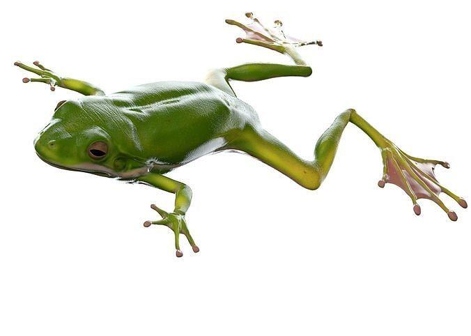 Frog Realistic