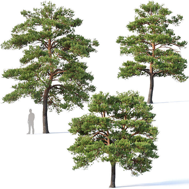 Pinus sylvestris Nr5 H7-10m Three tree set