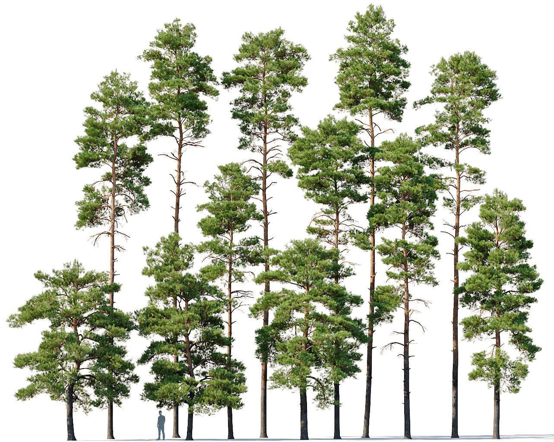 Pinus sylvestris  Mega Collection 12 models H10-27m