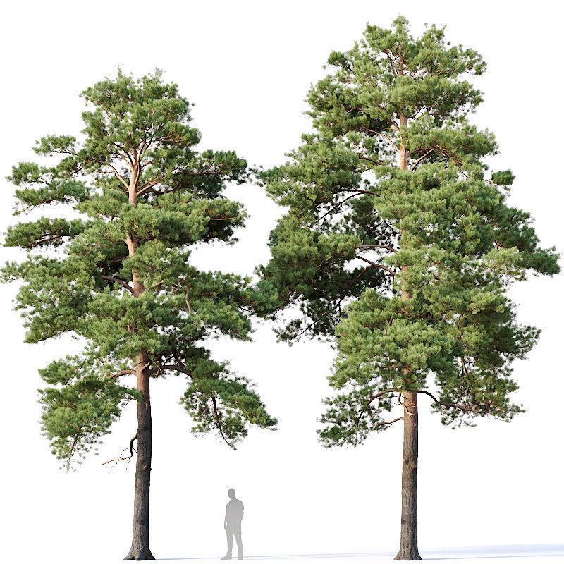 Pinus sylvestris Nr13 H12- 14m Two tree set