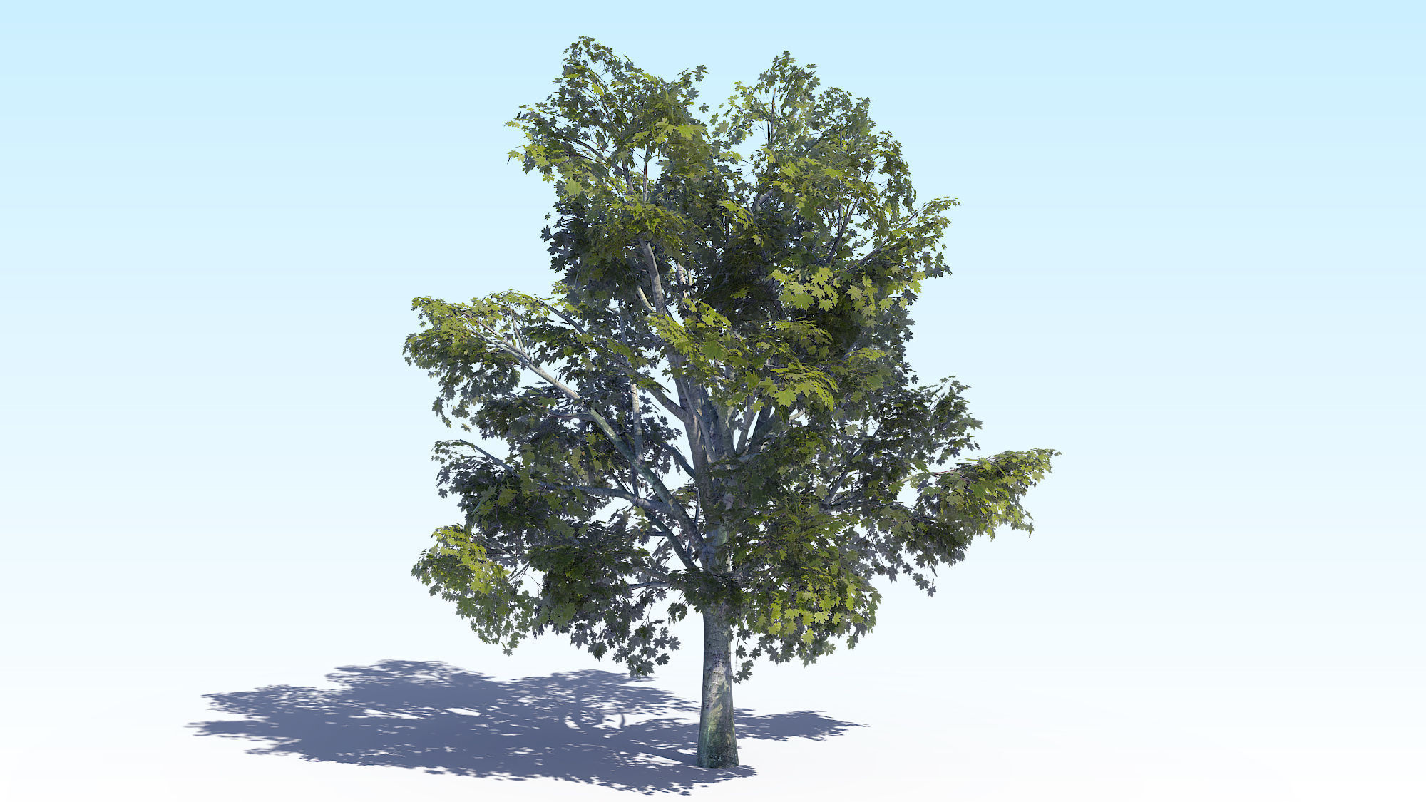 Maple Acer Tree 03 ArchViz