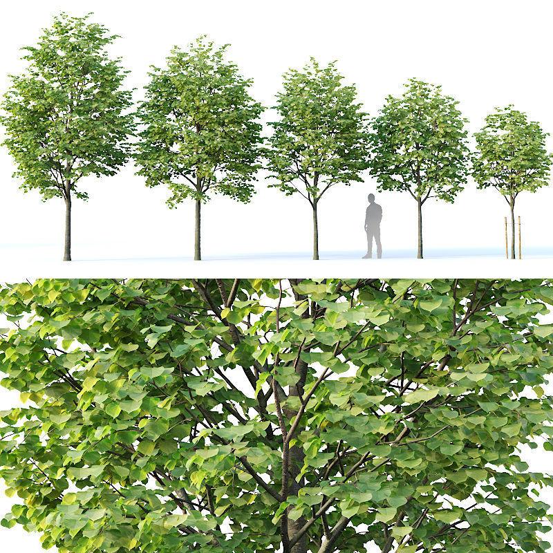 Tilia europaea Nr 1  H4-7m Five tree set