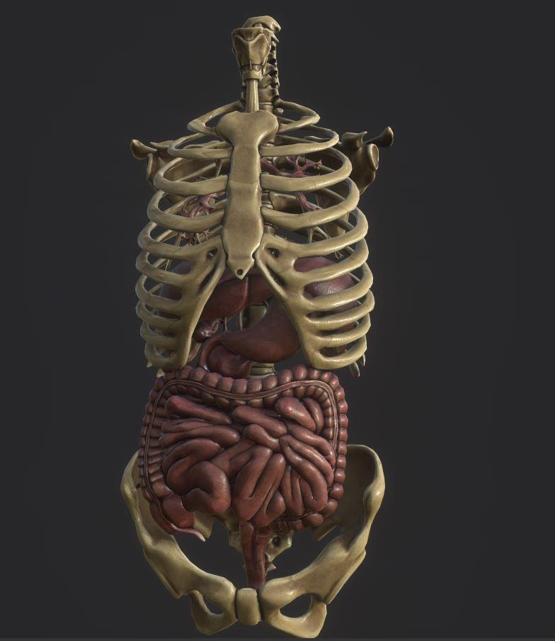 Anatomy skeleton pelvis spinal column human ribs and ORGAN PBR