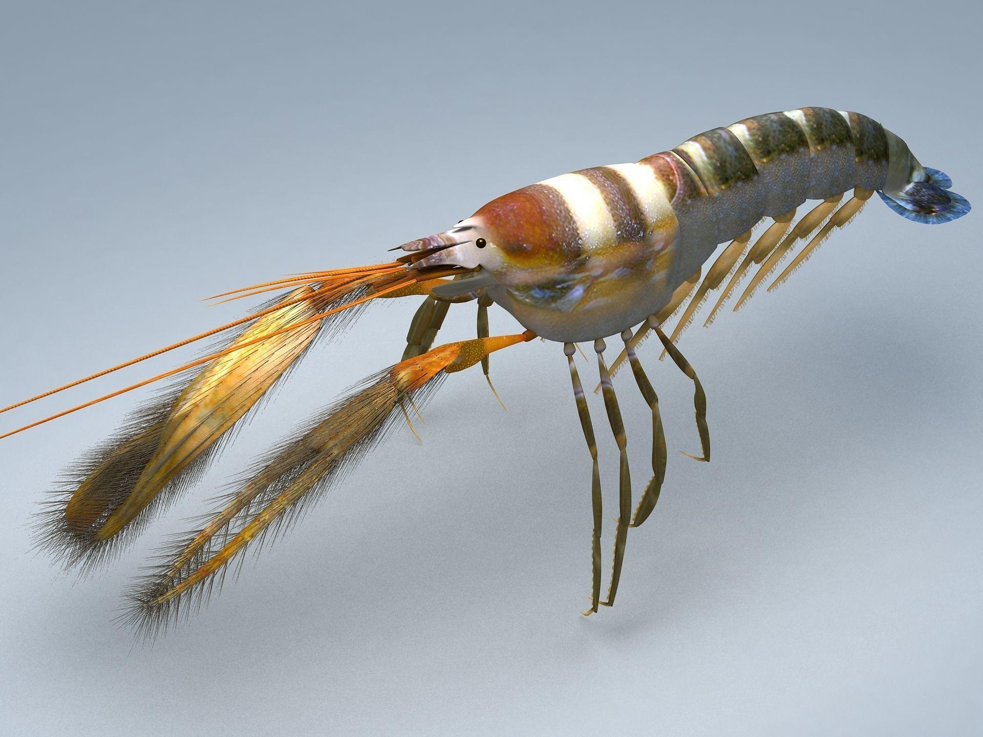 Alpheidae Pistol Shrimp
