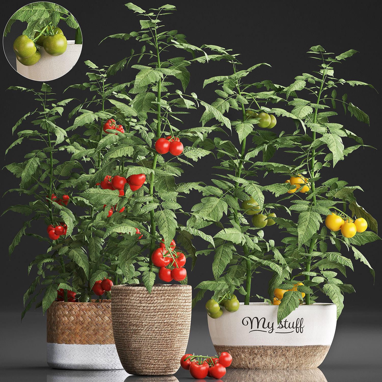 Decorative plants for the kitchen 385 tomato