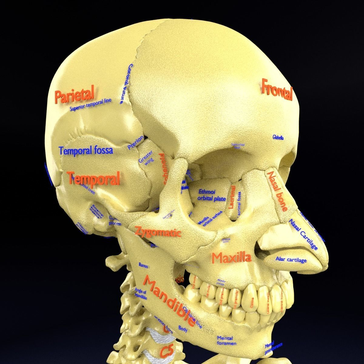 skull labelled anatomy text ldetailed