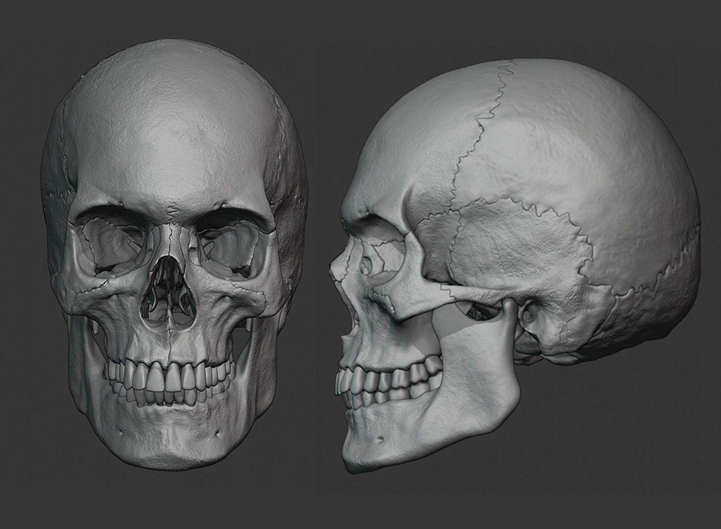 Human male skull sculpt